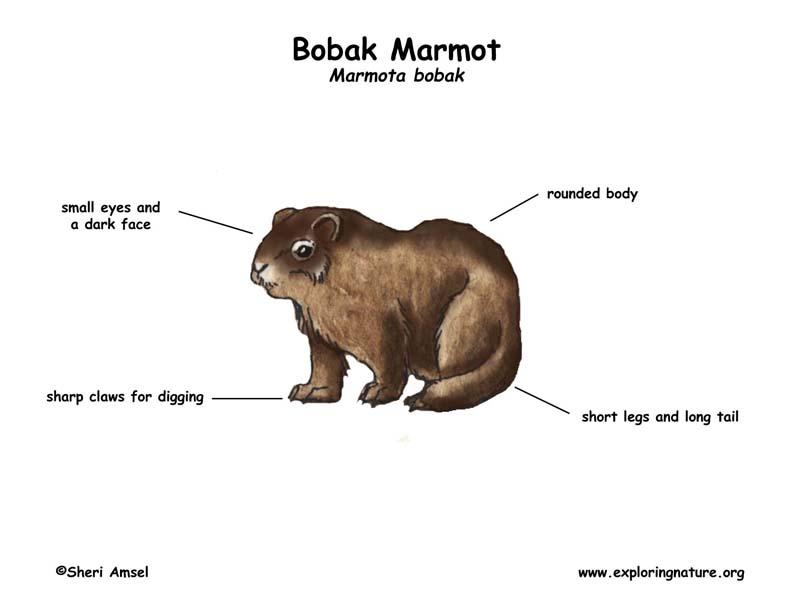 marmot  bobak