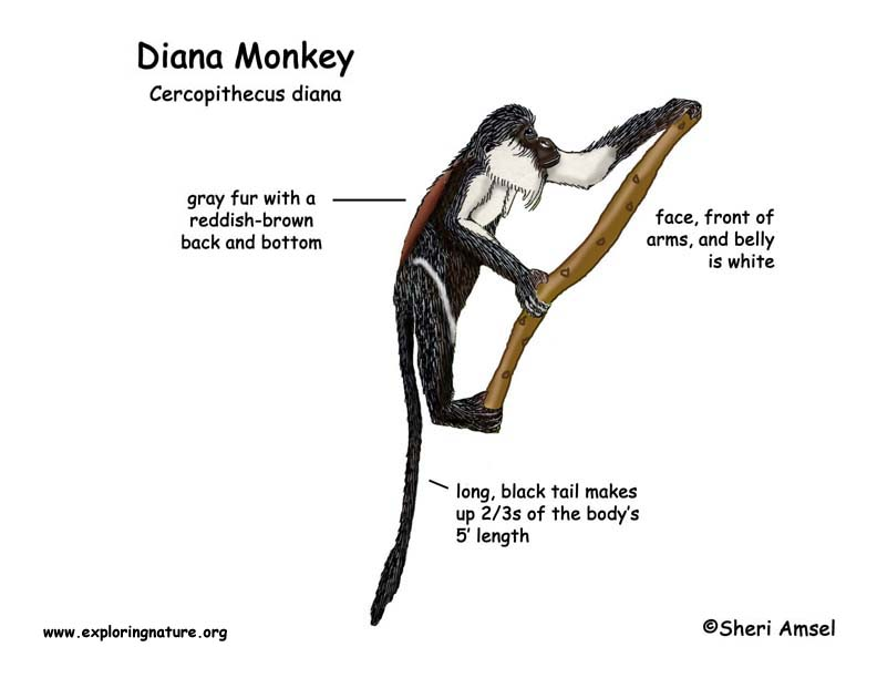 monkey diana rh exploringnature org labelled diagram of a monkey skull diagram of a monkey's brain