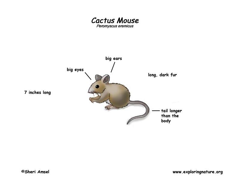 Mouse  Cactus