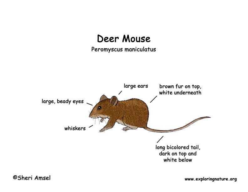 Mouse (Deer)