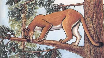 Mountain Lion (Panther, Puma)