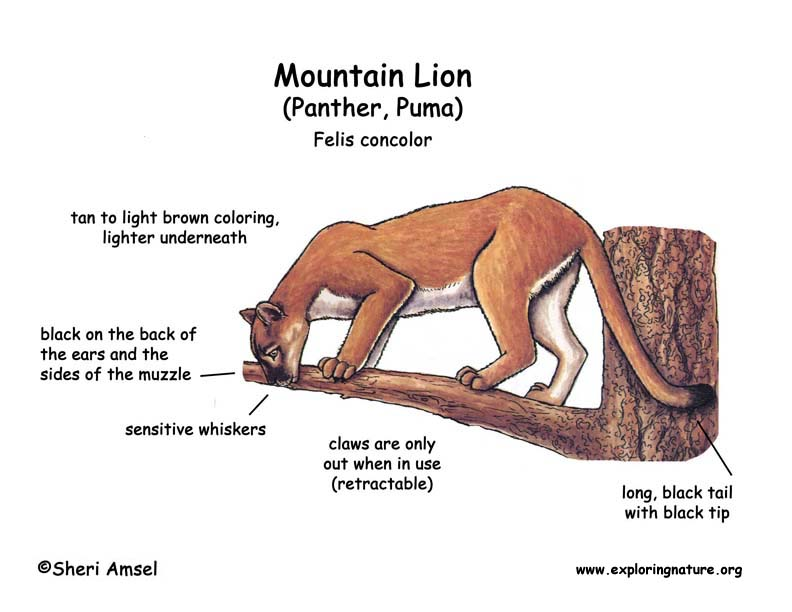 Mountain Lion (Panther, Puma, Cougar, Catamount)