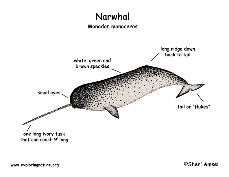 UWL Website |Narwhal Taxonomy