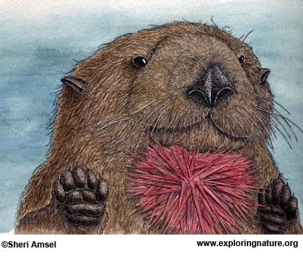 Otter (Sea)