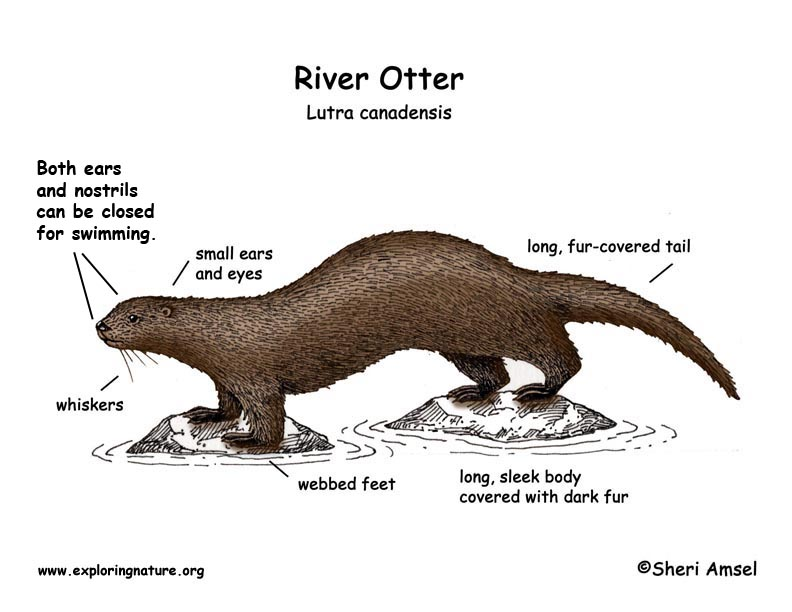 the characteristics and anatomy of sea otters a part of the weasel family The sea otter is the second smallest marine mammal and is the largest member of the weasel family these animals are native to the coasts of eastern and northern.