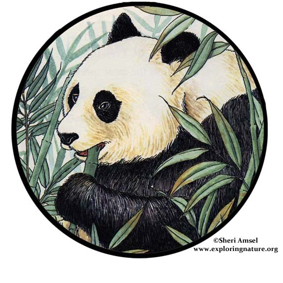 <p>Why do pandas have black and white spots?&nbsp; Zoe</p> <p>That is an interesting question and one many people have asked before, including wildlife biologists. The most accepted explanation that I can find is as follows.</p>