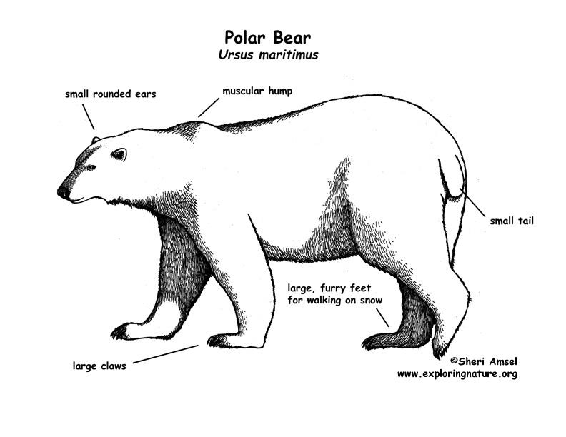 polar_bear_diagram polar bear body parts diagram