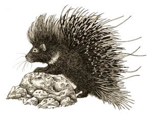 Porcupine (North African Crested)