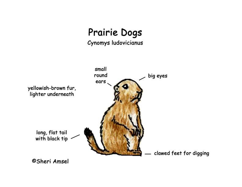 Prairie Dogs (General Information)
