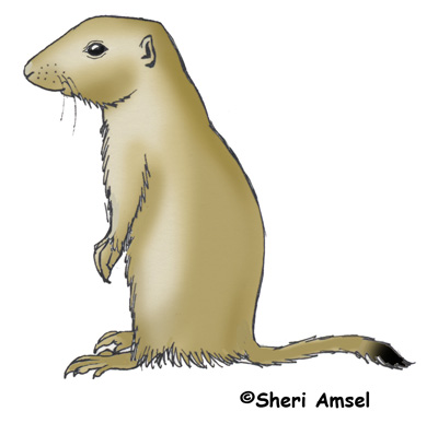prairie dog black tailed