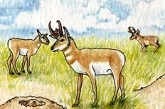 Antelope (Pronghorn)