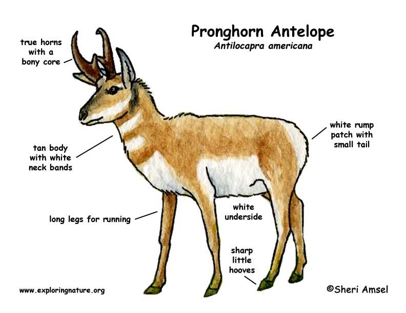 Antelope Pronghorn