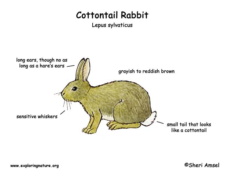 Rabbit (Cottontail)