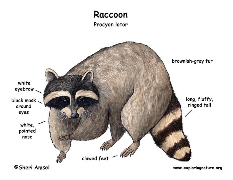 an analysis of the special adaptations on the raccoon species This indicates versatile adaptive capacity in the species the plasma testosterone   nieminen p adaptations of the raccoon dog (nyctereutes procyonoides) to   35 462 specific statistical analyses for individual experiments  36.