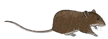Rat (Brown)