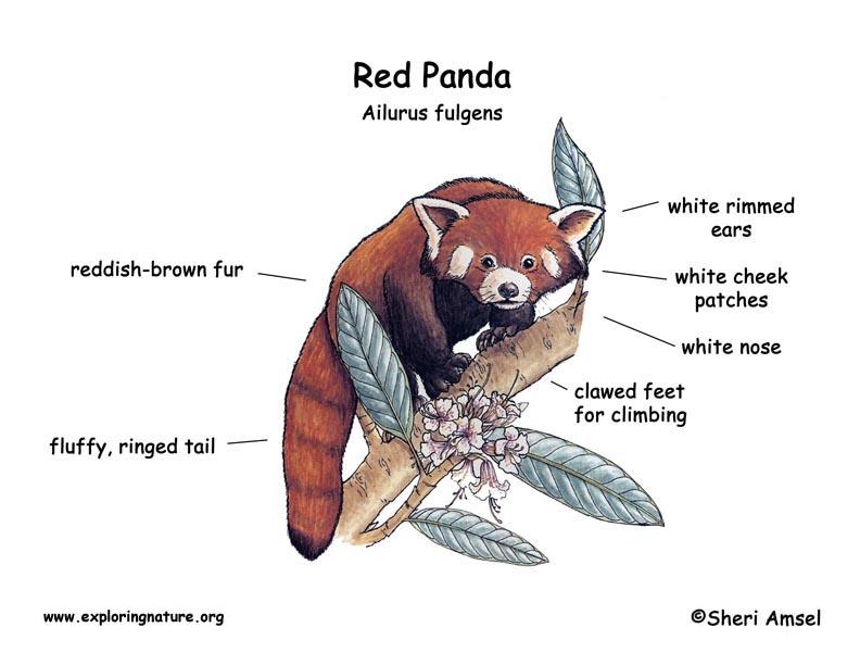 Panda (Lesser or Red)