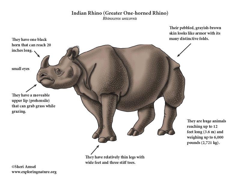 Rhinoceros (Indian) or Greater One-horned Rhinoceros