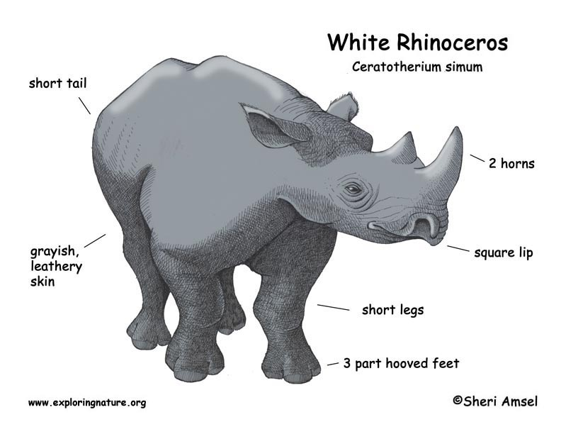 Rhinoceros (White)