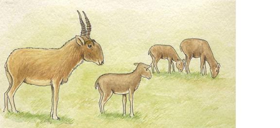 Antelope (Saiga)