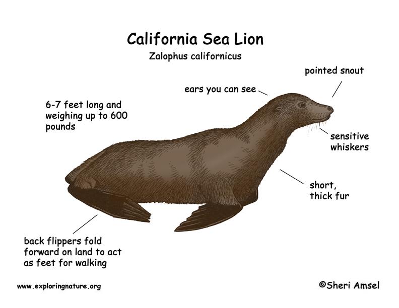 Sea Lion  California