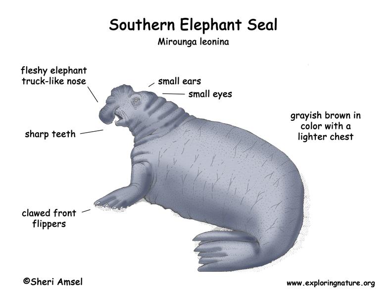 Seal  Southern Elephant