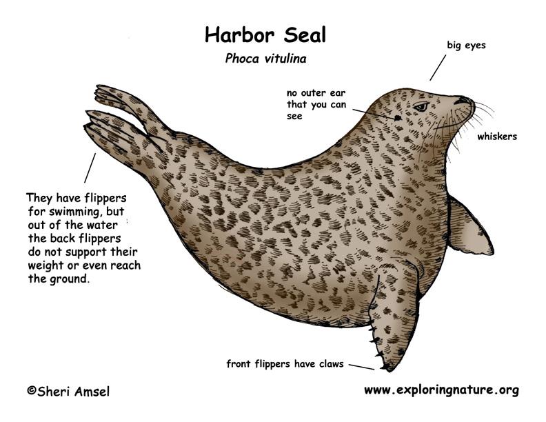 Seal (Harbor)