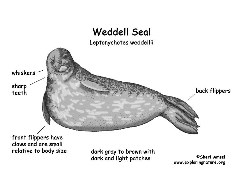 Seal  Weddell