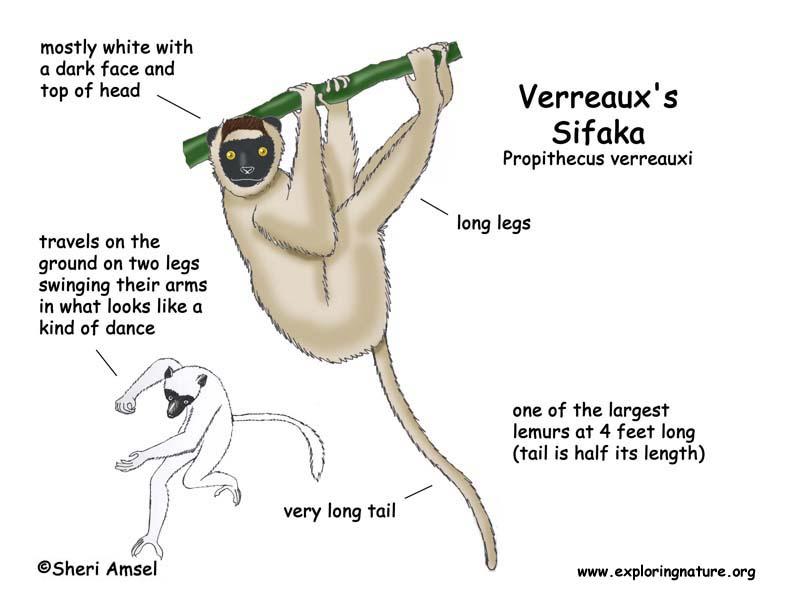 sifaka  verreaux u0026 39 s