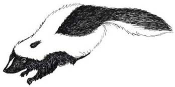 Skunk (Striped)