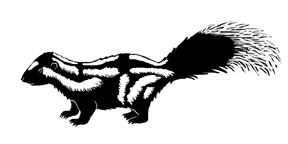 Skunk (Eastern Spotted)