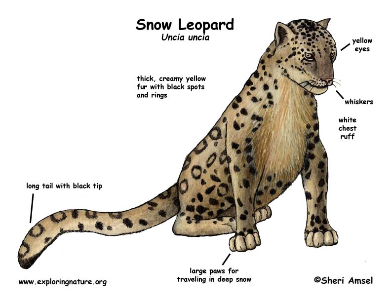 Http Provideocoalition Com Images Uploads Snowleopard 6
