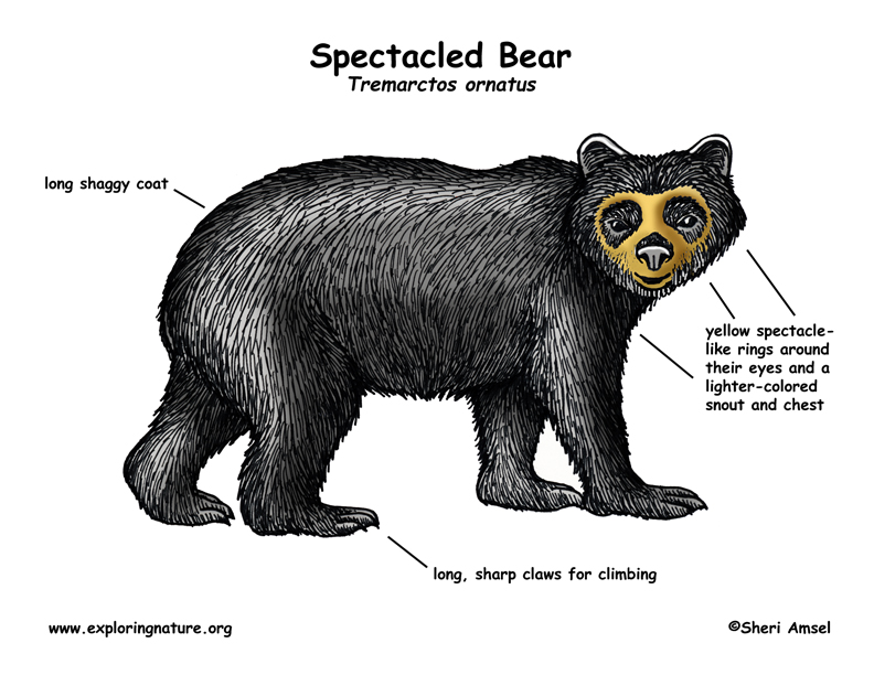 Bear (Spectacled)