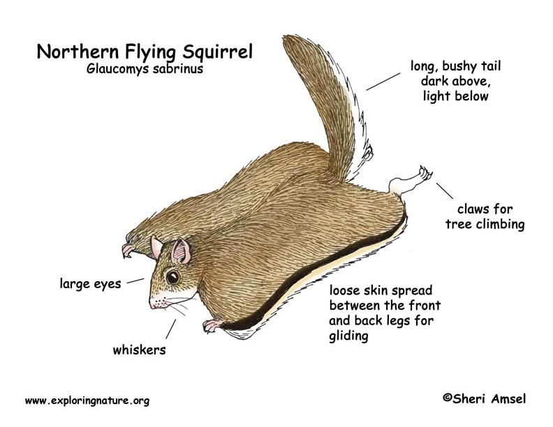 Squirrel (Northern Flying)