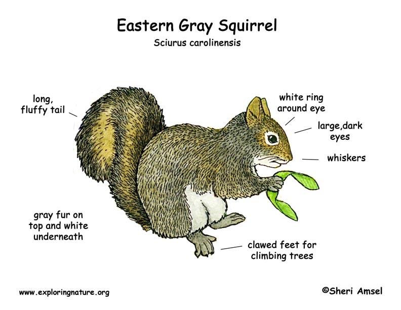 Squirrel Eastern Gray