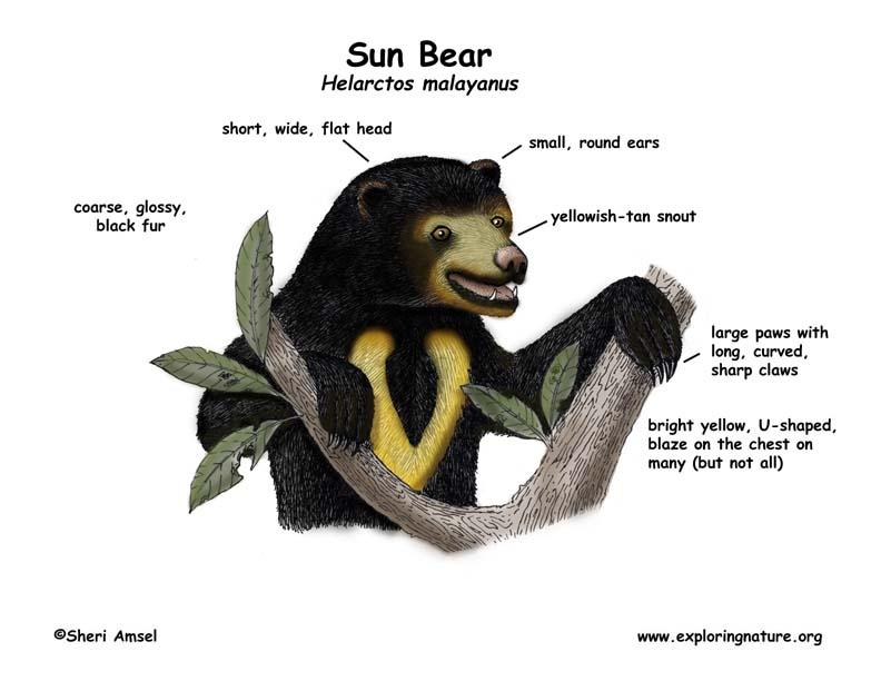 Bear (Sun)