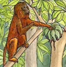 Monkey (Golden Lion Tamarin) -- Exploring Nature Educational Resource