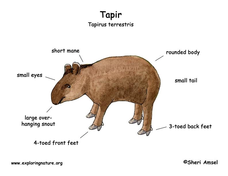 Tapir (Mountain, Baird's, Brazilian, Malayan)