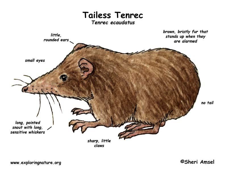 Tenrec (Tailess)