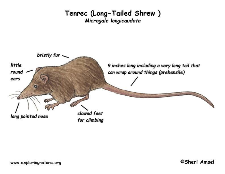 Tenrec (Long-Tailed Shrew )