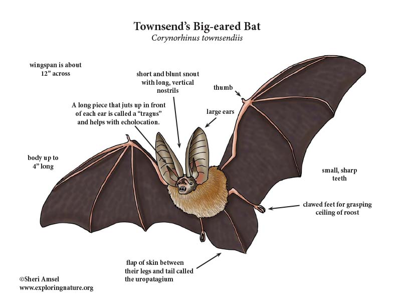 Townsend's Big-eared Bat Diagram