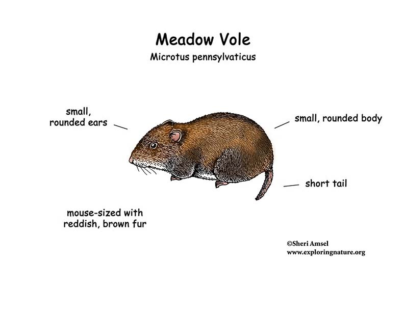 Meadow Vole Diagram