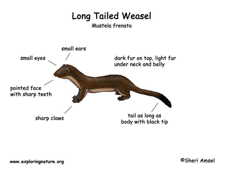 Weasel (Long Tailed)