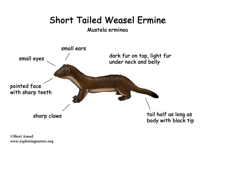 Weasel (Short Tailed) or (Ermine)