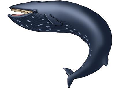 Whale (Blue)