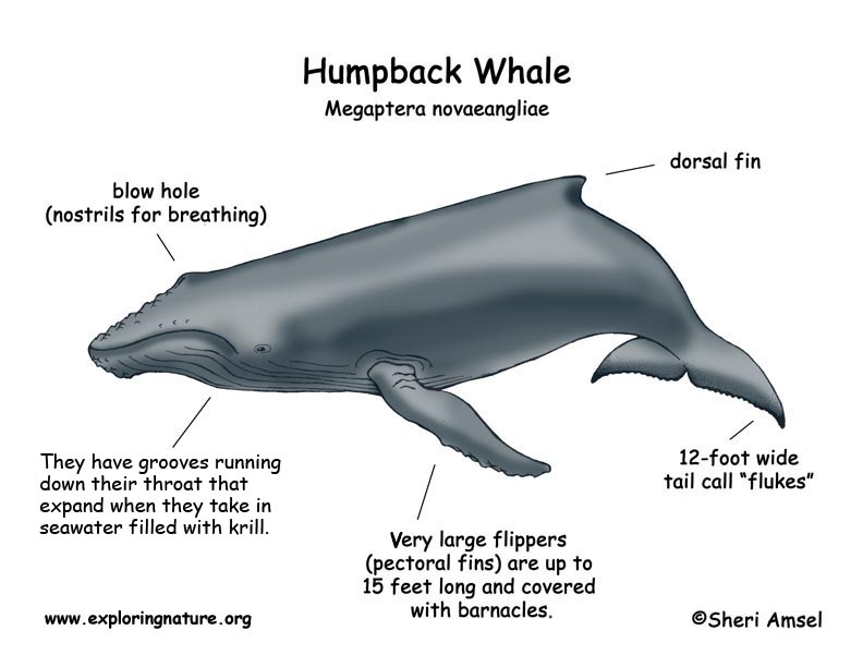 a general overview of the humpback whales Humpback whales (megaptera novaeangliae) are a species of large sapient cetaceans native to the oceans of planet earth their language consists of complex songs which can travel for several miles through the seas.