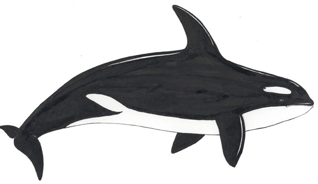 Diagram Of A Orca Whale Auto Electrical Wiring Diagram