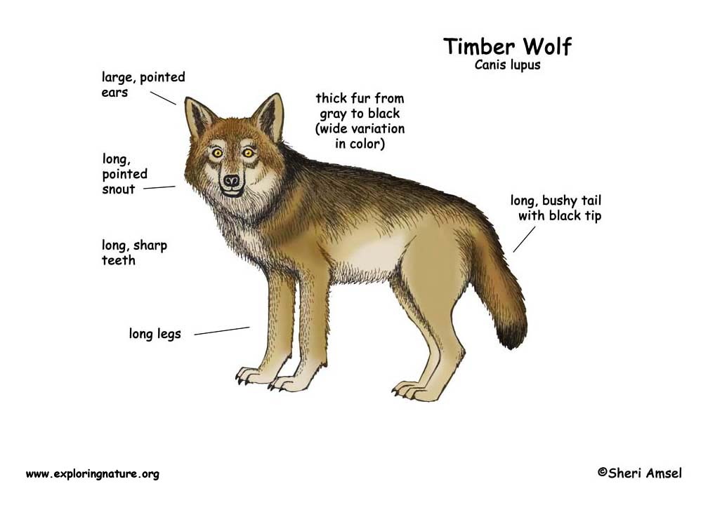 Wolf (Timber Wolf or Gray Wolf)