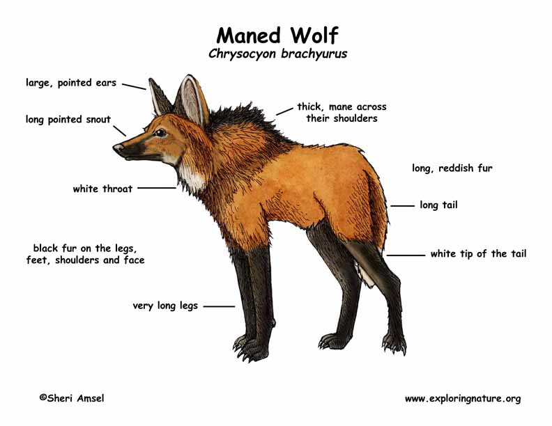 Wolf (Maned)