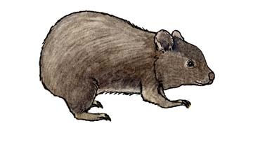 Wombat (Common)