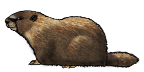 Marmot (Yellow-bellied)